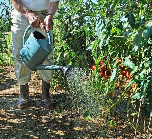 раствор с сывороткой для помидор