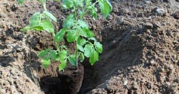 первые подкормки помидоров после высадки в грунт