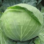 Как посадить капуста сорта Агрессор: подробное описание