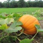 Как посадить тыкву рассадой в открытый грунт, когда высаживать