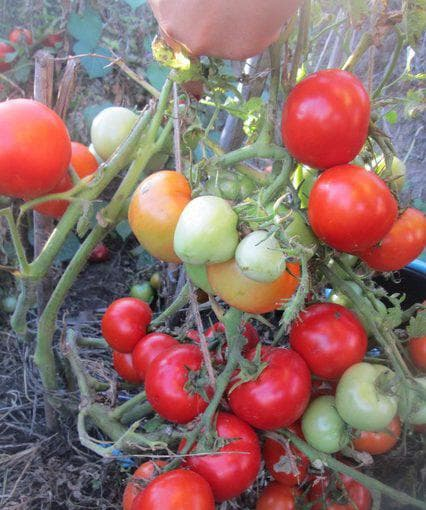 помидор Царь Петр