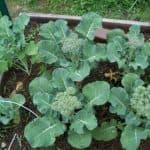 технологию выращивания белокочанной капусты в открытом грунте