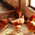 описание Первомайской курицы