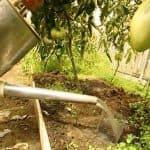 Средства борьбы с фитофторой на помидорах в теплице
