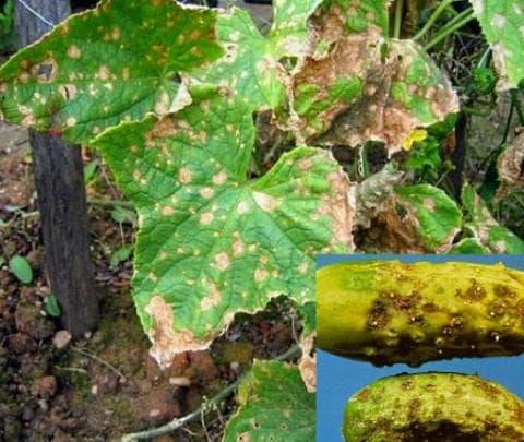 бурая оливковая пятнистость на огурцах