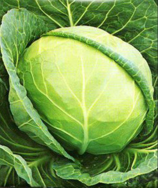 Лучшие сорта капусты для засолки и хранения
