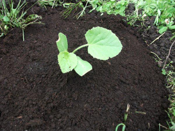 высадка рассады тыквы в землю