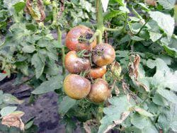 заболевания томатов
