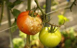 профилактика от фитофторы на помидорах