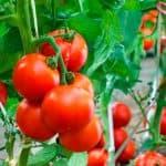 болезни помидор в теплице из поликарбоната