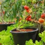 белые пятна на листьях помидор в теплице