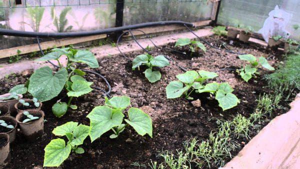 как посадить тыкву на компостной куче