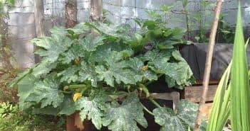 выращивание тыквы на компостной куче
