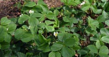 можно опрыскать землянику во время цветения
