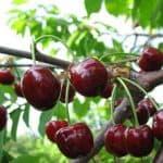 Неприхотливая вишня сорта Тургеневка: описание, уход