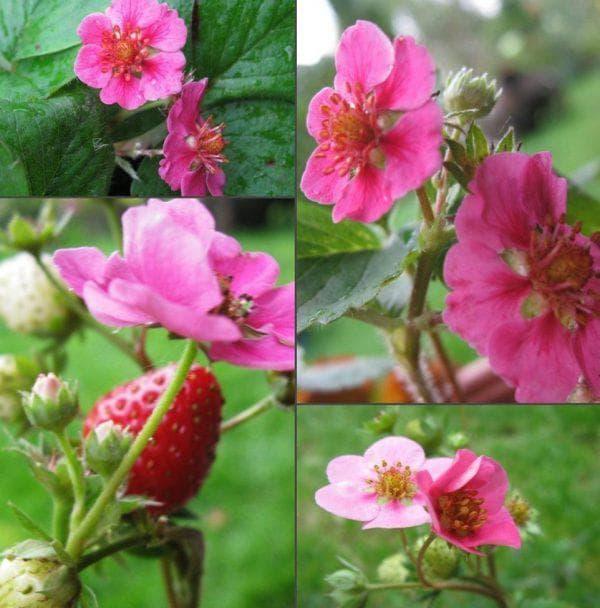 клубника Розовое чудо