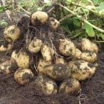выращивание сладкого картофеля Батат