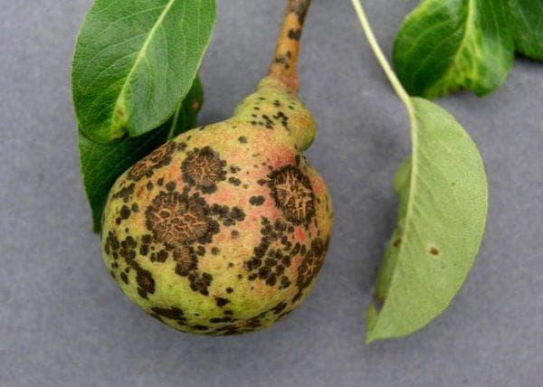 Болезни груш