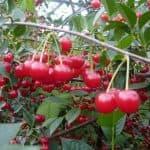 Выносливый сорт вишни Ашинская: подробное описание