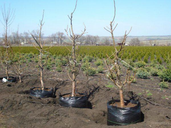 как ухаживать за посаженным абрикосом весной