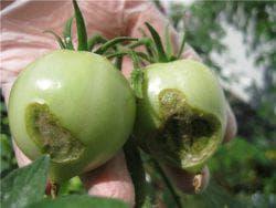 вредители на помидорах
