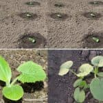Как посадить кабачки в открытый грунт семенами