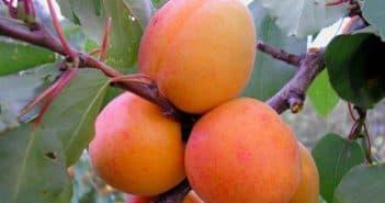 абрикос медовый описание сорта