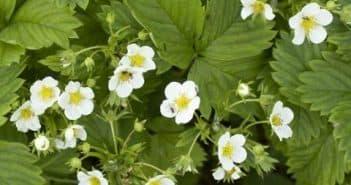 как правильно подкармливать клубнику во время цветения