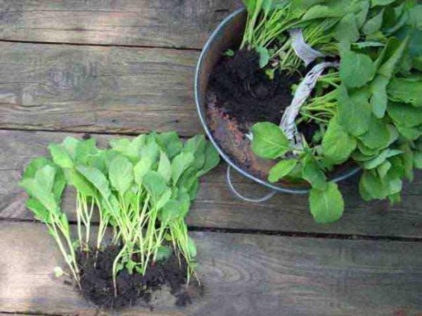 пересадка капусты сразу после прорастания