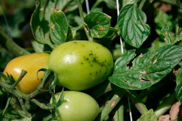крапчатость на помидорах