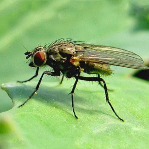капустная муха на капусте