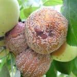 При каких болезнях груши чернеют листья и плоды?