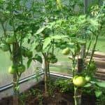 Какая подкормка нужна для помидор в теплице во время цветения