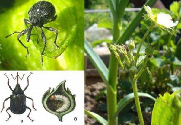 жуки долгоносики