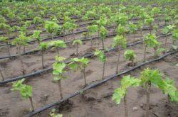 посадка саженцев винограда в сибири