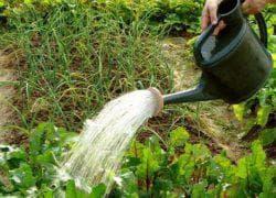 Как вырастить хрен на огороде из семян, их корня