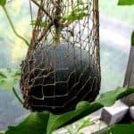 Как часто поливать арбузы в теплице и открытом грунте