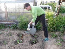 подкормка капусты дрожжами
