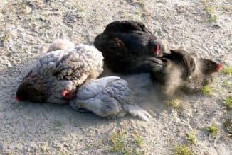как травить клещей на курице
