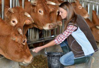 кормление коров сеном