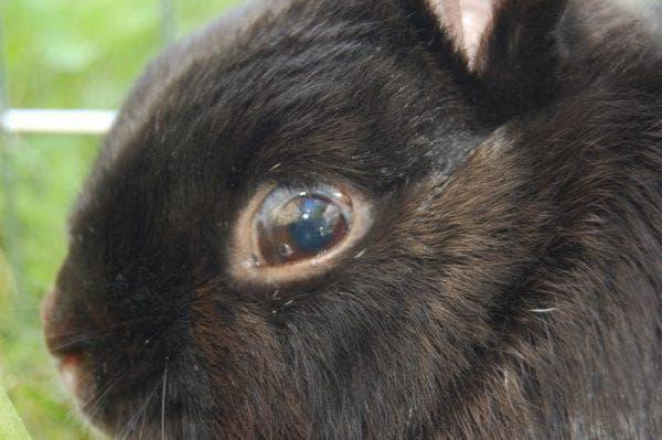 увеит у кролика