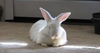 у кролика опух и гноится глаз