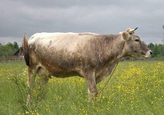 Тагильский подвид коров