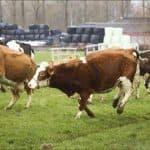 Список пород коров молочного направления