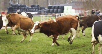 разные коровы