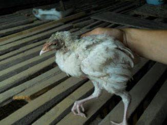так выглядит больной цыплёнок