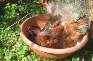 курица в ванной