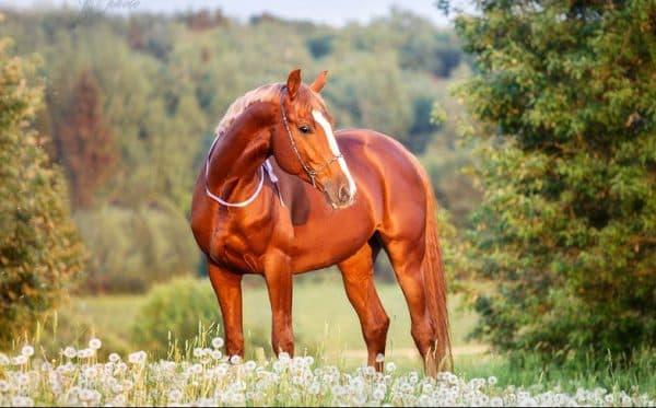 жеребец Тракененская порода лошадей