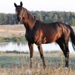 Чем примечательна тракененская порода лошадей, и как ее разводить