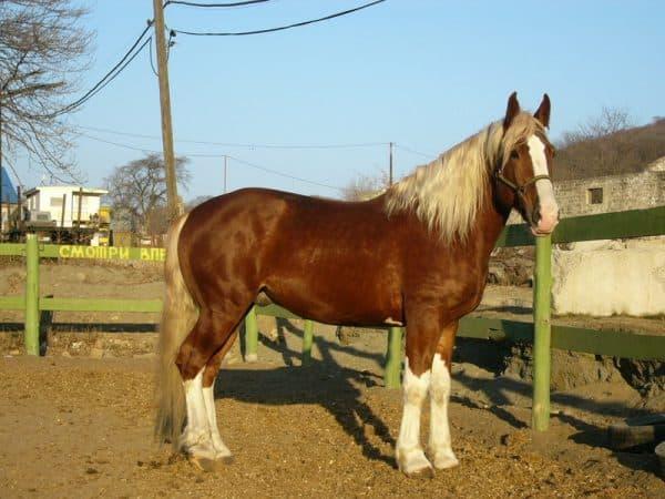 порода лошадей тяжеловозов Советская